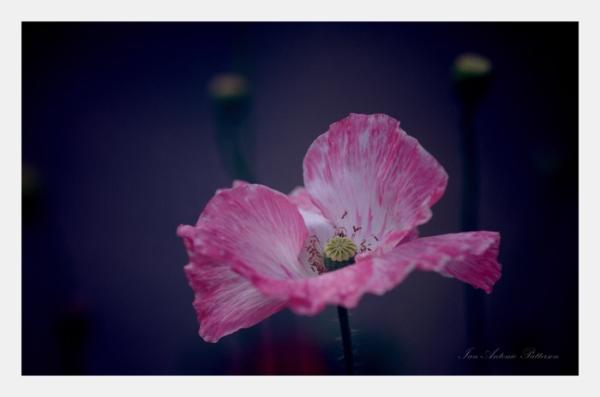 ian-antonio-patterson.com, ian-antonio-patterson, reflective, creative-edit, pentax-k5, macro-photography, 35mm-Macro, flower-fetish, Berlin-Germany, Jamaica