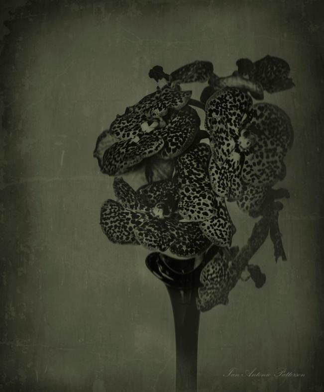 ian-antonio-patterson.com, ian-antonio-patterson, reflective, creative-edit, pentax-k5, macro-photography, SMC Pentax-A 645 120mm F4 Macro, rendition-wet-plate-collodion, flower-fetish, Berlin-Germany, Jamaica