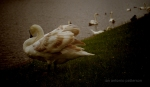 dutty swan
